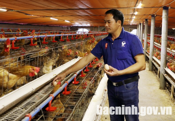 Đệm lót sinh học - giải pháp chăn nuôi hiệu quả